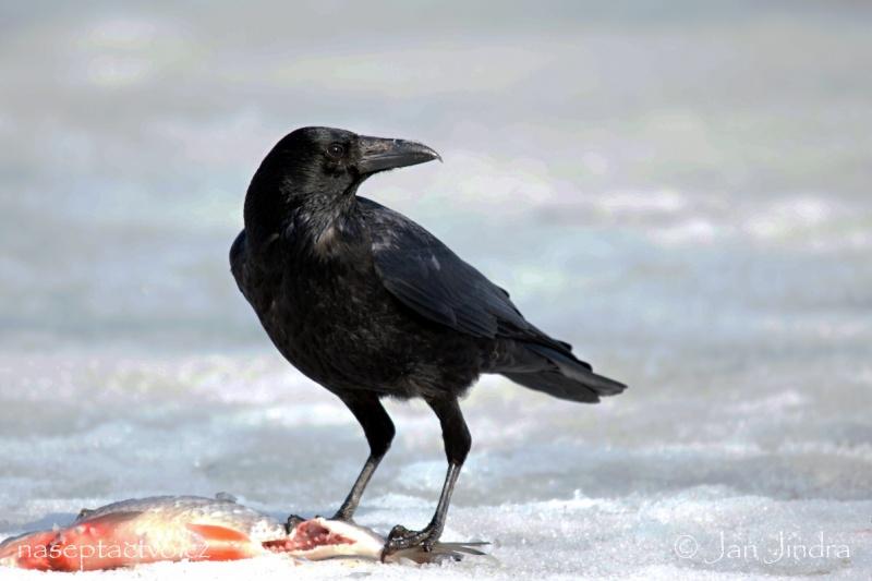 Vrána černá corvus corone